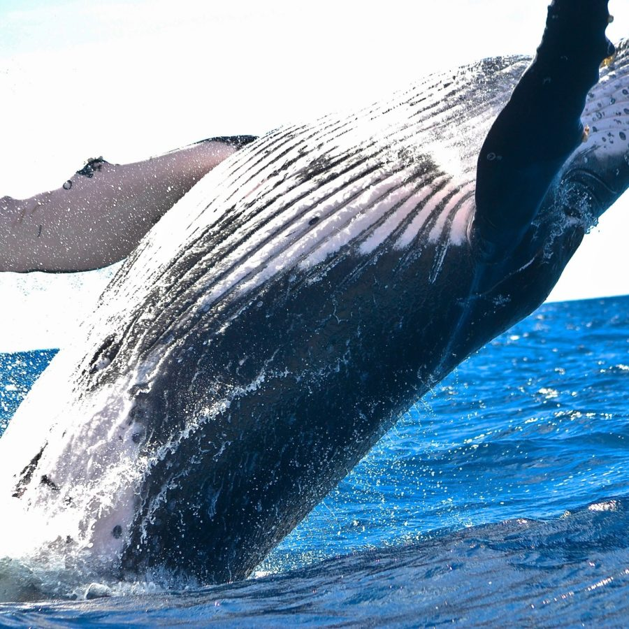 Humpback Whale Watching Experience Queensland