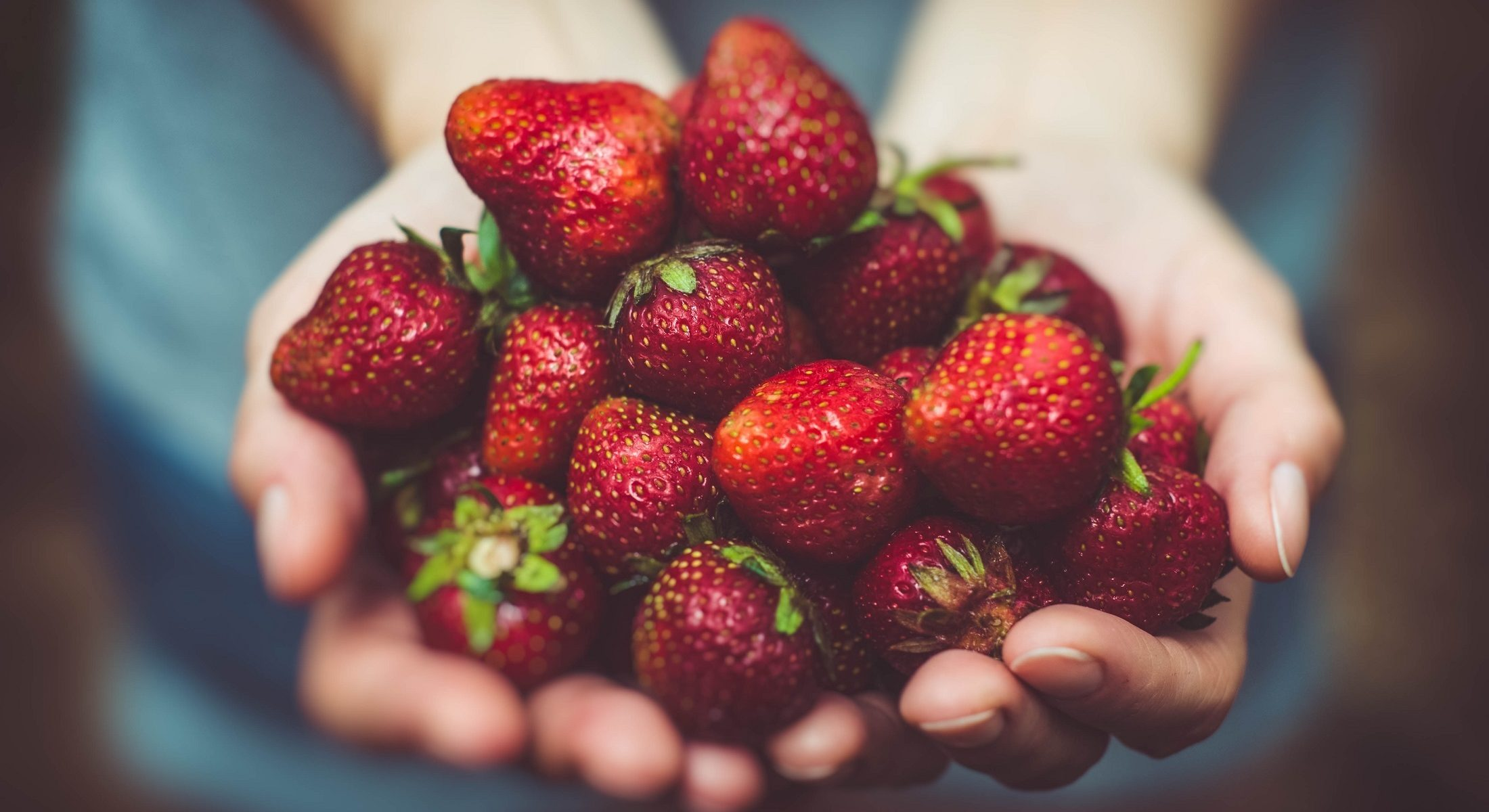 Strawberries Handful Fresh Picking Near Brisbane Moreton Bay Region