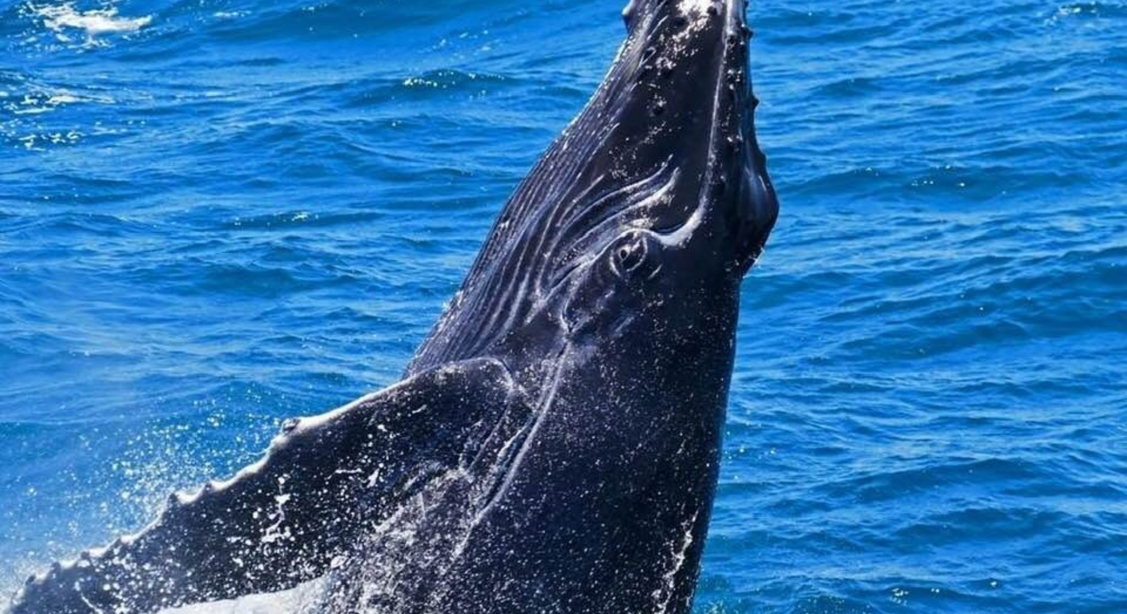 Billy Humpback Whale Image Credit Brisbane Whale Watching
