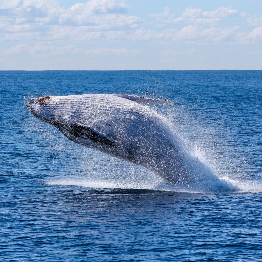 Brisbane Whale Watching Moreton Bay Region Queensland